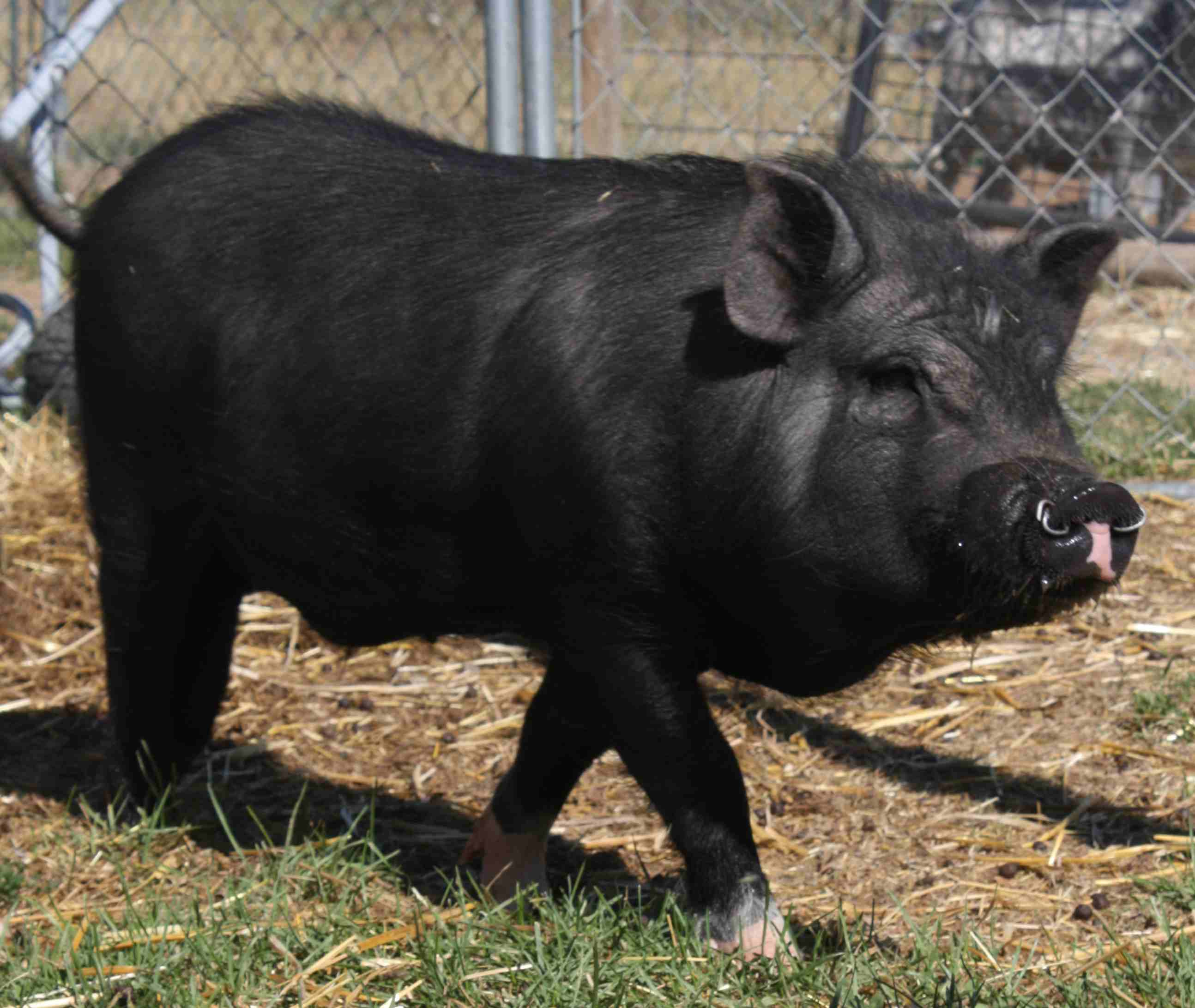 The Project Plan and the Potbellied Pig